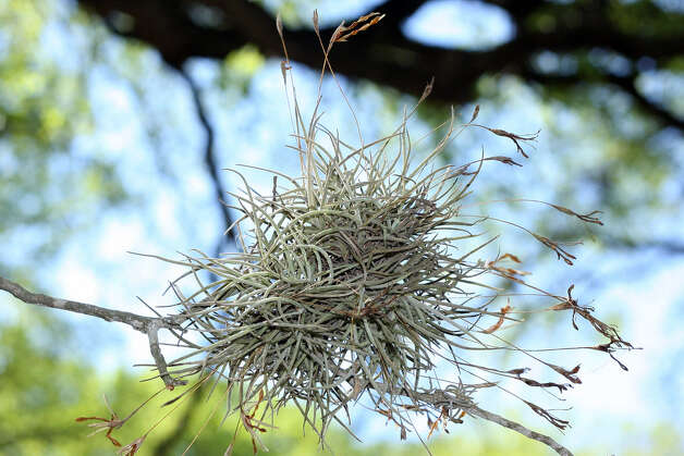 Ball moss can be unattractive, but the epiphyte is not harmful.
