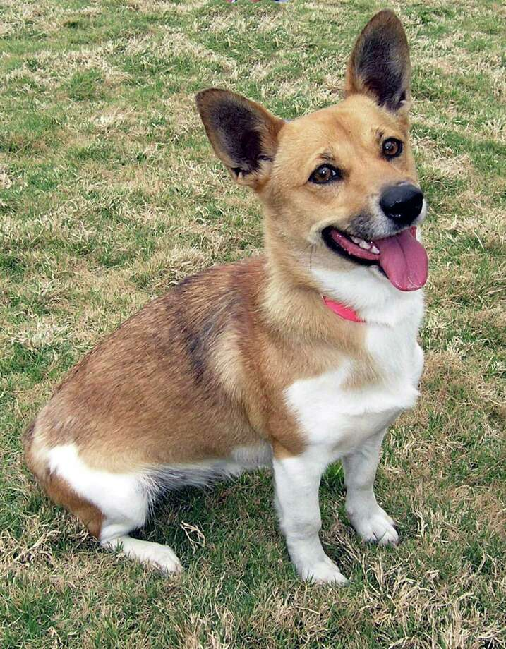 Tina , a one year old Cardigan Welsh Corgi. This beautiful dog was found as a stray if you can imagine that. OLYMPUS DIGITAL CAMERA Photo: --