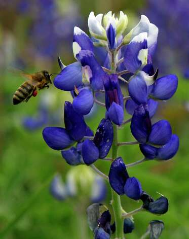 In this file photo from March 16, 2012,   bluebonnets lined the south meadow trail at the Houston Arboretum and Nature Center, 4501 Woodway Drive Houston Photo: Melissa Phillip, Staff / © 2012 Houston Chronicle