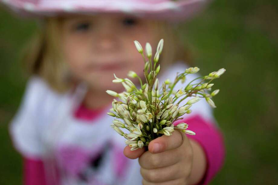 Emma Morrow, 3, of Houston pics flowers in her western wear for Go Texan Day as she waited for trail ride groups in Memorial Park Friday, Feb. 22, 2013, in Houston. Photo: Johnny Hanson, Houston Chronicle / © 2013  Houston Chronicle