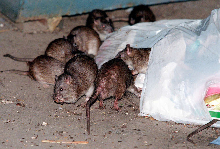 FILE- In this July 7, 2000 file photo, rats swarm around a bag of garbage near a dumpster at the Baruch Houses in New York. Various New York City neighborhoods have been complaining about an onslaught of rats in the wake of Superstorm Sandy. The New York City Council is considering a proposal to create an emergency rat mitigation program for storm-impacted neighborhoods. But some experts aren't so sure that Sandy's supposed rat surge is for real. (AP Photo/Robert Mecea, File) Photo: Robert Mecea