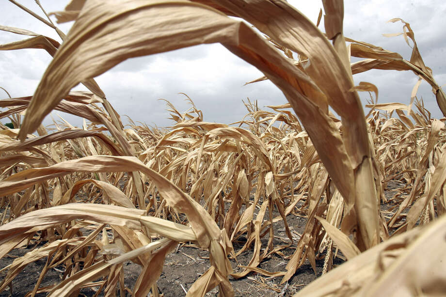 Farmers are reluctant to plant more corn in the drought. Photo: San Antonio Express-News File Photo