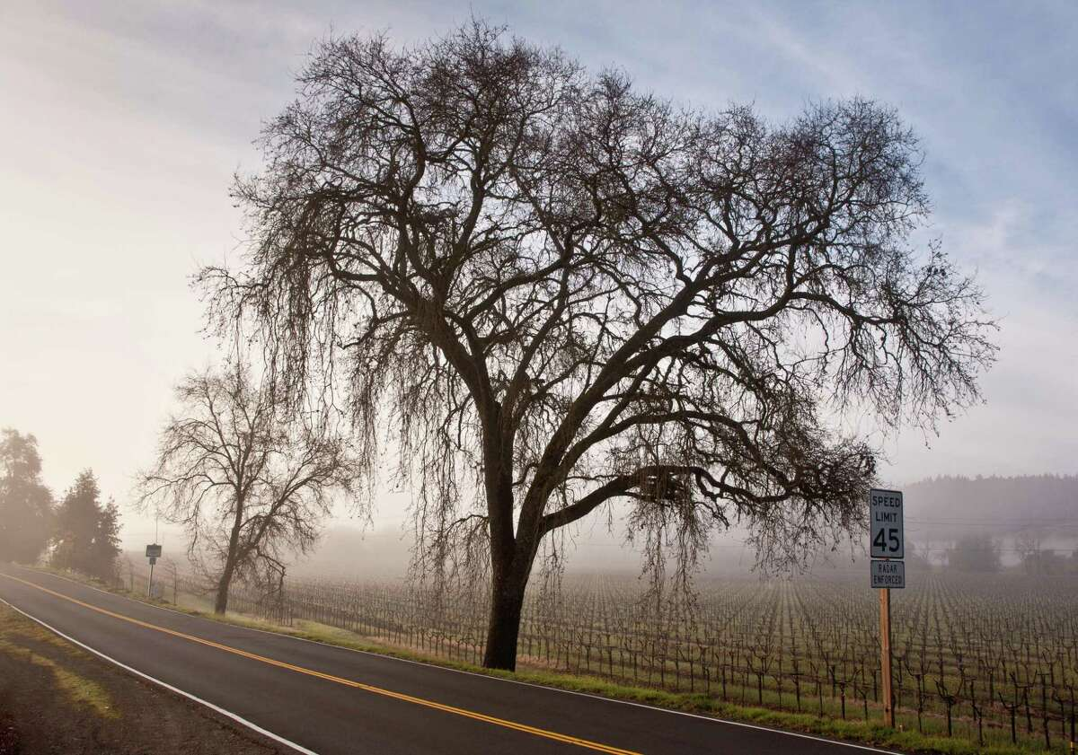 """A large oak tree is shrouded in fog along Highway 128 in Geyserville, California. Oak trees are the most common tree in the Northern Hemisphere, a tree of """"ubiquity and broad utility,"""" writes author Lynda Mapes in """"Witness Tree."""" Their acorns sustain a multitude of animals. """"If oak were an animal, it would be a dog."""""""