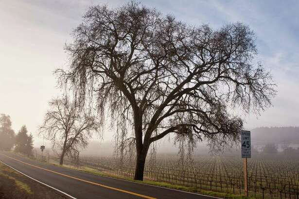 GEYSERVILLE, CA - FEBRUARY 18: A large oak tree is shrouded in fog along Highway 128 on February 18, 2013, in Geyserville, California. Despite the cold winter weather, California wine producers are preparing for another successful vintage following the record harvest of 2012.