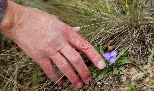Andrew Sipocz looks at a wildflower while hiking at Davis Hill Natural Area Wednesday, Feb. 20, 2013, near Tarkington, Texas. The tract of land was purchased by Texas Parks and Wildlife in 1983, but has never been developed to be used by the public. Photo: Brett Coomer, Houston Chronicle / © 2013 Houston Chronicle