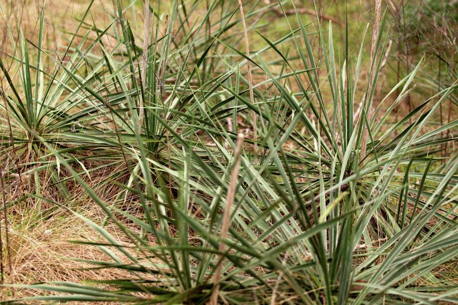 Yucca plants are seen at Davis Hill Natural Area Wednesday, Feb. 20, 2013, near Tarkington, Texas. The tract of land was purchased by Texas Parks and Wildlife in 1983, but has never been developed to be used by the public. Photo: Brett Coomer, Houston Chronicle / © 2013 Houston Chronicle