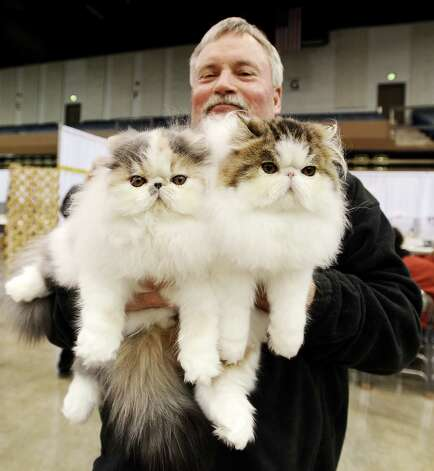 "Craig Allen shows of Micha and Wimzy, brothers of the Bi-colored Persian breed, at the Wildcatters Cat Club 22nd Annual Allbreed and Household Pet Cat Show ""The ACatemy Awards"" event at the Beaumont Civic Center on Saturday, February 23, 2013. Photo taken: Randy Edwards/The Enterprise"