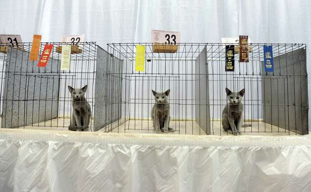 "Three Russian Blue breed cats sit still after being judged at the Wildcatters Cat Club 22nd Annual Allbreed and Household Pet Cat Show ""The ACatemy Awards"" event at the Beaumont Civic Center on Saturday, February 23, 2013. Photo taken: Randy Edwards/The Enterprise"