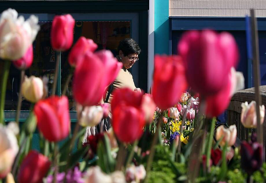 The tulips for the Tulipmania show at Pier 39 are in full bloom and expected to last at least two more weeks. Photo: Jessica Olthof, The Chronicle