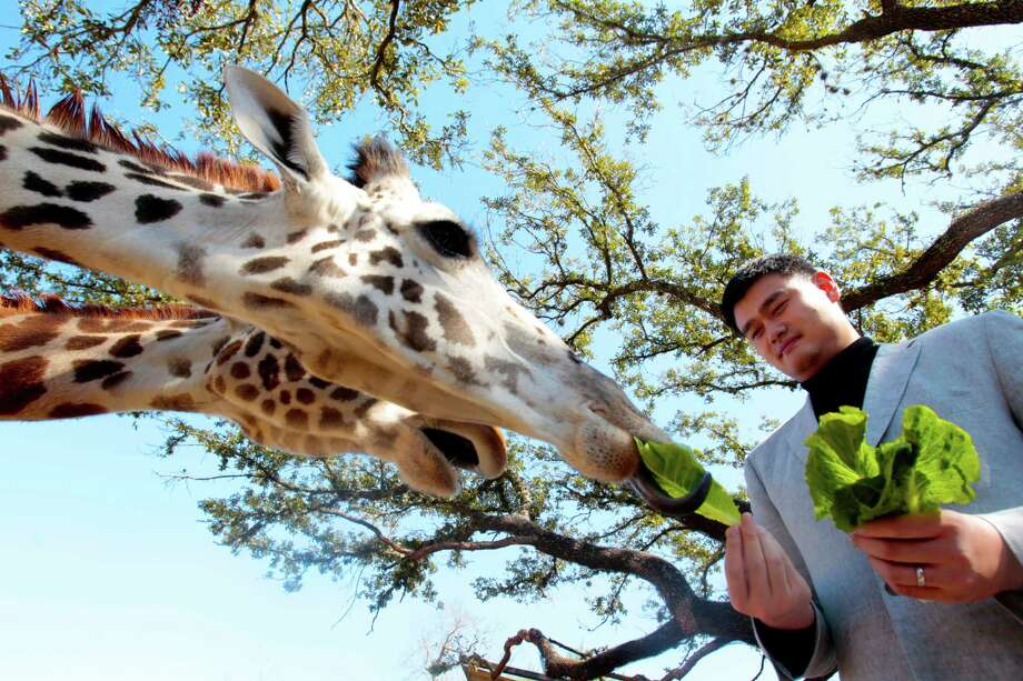 The other Yao Ming, a former Houston Rockets star, feeds a Masai giraffe at the Houston Zoo on Valentine's Day. Yao Ming was in town to educate schoolchildren about wildlife conservation. Photo: Billy Smith II / Houston Chronicle