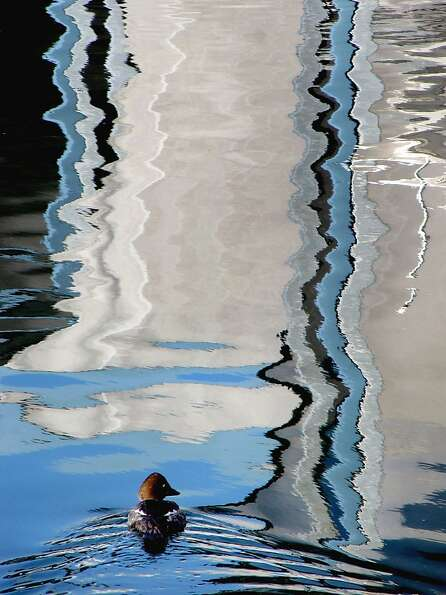 Ripple effect: A goldeneye swims amid the sailboat reflections in the Port Orchard (Wash.) Ma