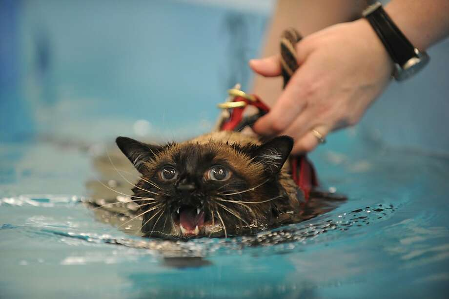He has the same expression as the tiger in 'Life of Pi': Deemed too fat for for his own good, Elmo the cat reluctantly swims laps at the University of Tennessee College of Veterinary Medicine in Knoxville. The 24-pound kitty has been enrolled in the Canine Arthritis Rehabilitation Exercise Sports Medicine program to lose weight, even though he's no doggy paddler, obviously. Photo: Paul Efird, Associated Press