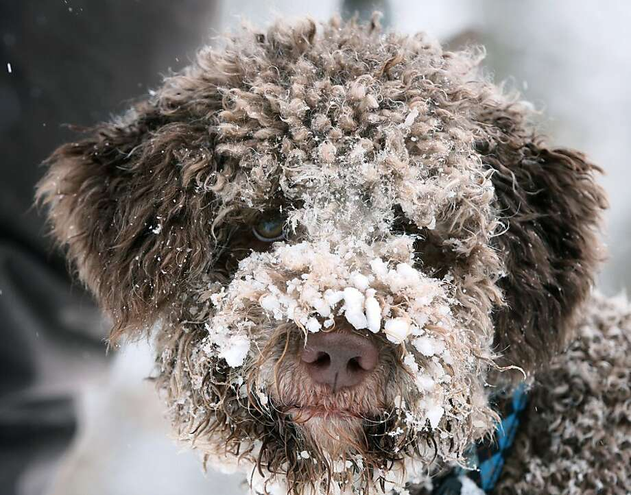 A cold nose is healthy but this is ridiculous: A truffle-sniffing pooch owned by mushroom expert Fabian Sievers searches the snow for the valuable fungus in the woods near Hannover, Germany. Photo: Lukas Schulze, AFP/Getty Images