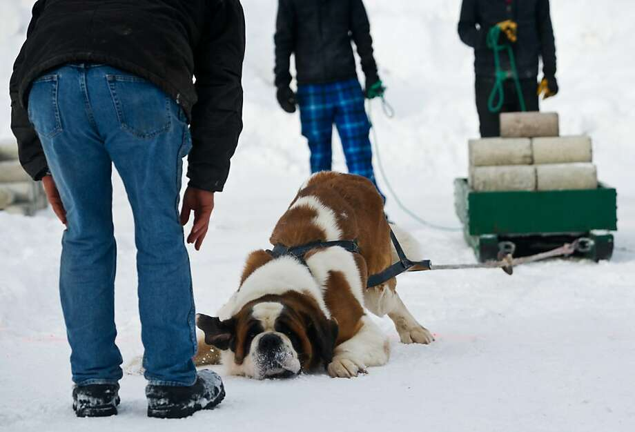Who's the strongest boy?! Casey the Saint Bernard bows to his owner, Jeff Nelson, as Nelson coaxes him on in the World Championship Dog Weight Pull in Anchorage. Casey pulled a sled carrying 1,190 pounds to claim the heavyweight division title. Photo: Marc Lester, Associated Press