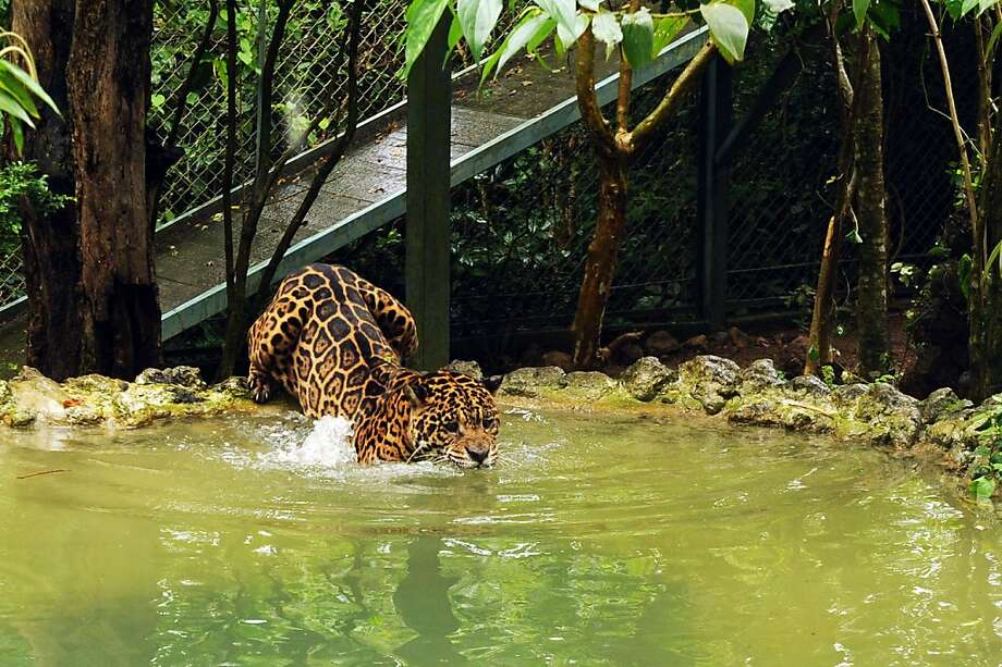 See spots swim:Not all cats hate water, of course - for example, this jaguar at the Petro Velho Farm refuge in Corumba de Goias, Brazil. Photo: Evaristo Sa, AFP/Getty Images