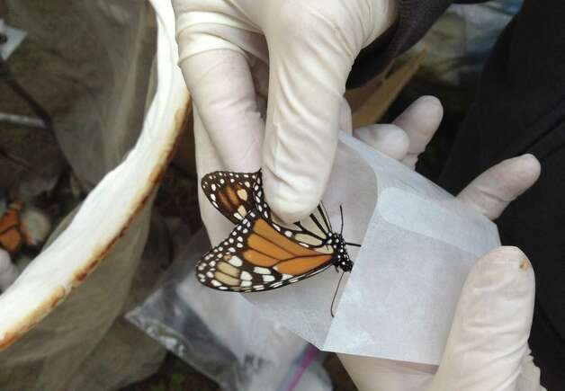 In this Feb. 15, 2013 photo, a scientist collects a Monarch butterfly to be tested for the ophryocystis elektroscirrha parasite that inhibits their flight, at El Capulin reserve, near Zitacuaro, Mexico. Every year, millions of monarchs migrate from the eastern United States and Canada to central Mexico, a journey of over 2,000 miles. The tiger-striped butterflies arrive in late October and early November to hibernate in fir trees until February. The scientist is part of a research project conducted by the World Wildlife Fund of Mexico and the University of Georgia and University of Minnesota. (AP Photo/Marjorie Miller) Photo: Marjorie Miller, Associated Press / AP