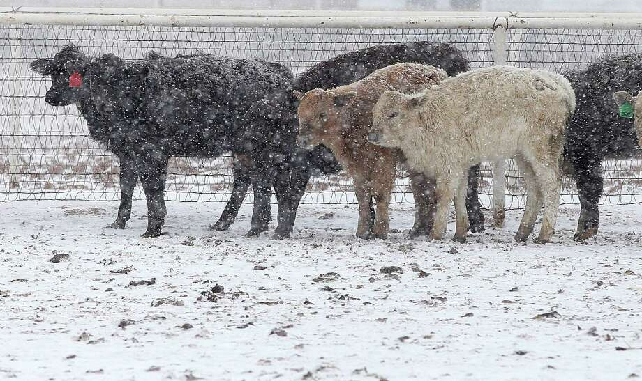 Cattle stand in blizzard conditions in Lubbock, Texas, Monday, Feb. 25, 2013. Monday, Feb. 25, 2013. State troopers are unable to respond to calls for assistance and National Guard units are mobilizing as a winter storm blankets the central Plains with a foot of snow in some places. Roads are closed Monday throughout West Texas and the Panhandle. (AP Photo/Lubbock Avalanche-Journal, Zach Long) Photo: Zach Long, Associated Press / Lubbock Avalanche-Journal