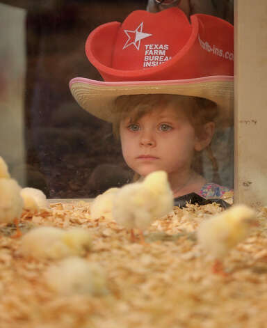 Makenna Williams, 4, of Garden Ridge, watches chicks at an exhibit at the San Antonio Stock Show and Rodeo, Sunday, Feb. 10, 2013. Photo: Jerry Lara, San Antonio Express-News / ©2013 San Antonio Express-News