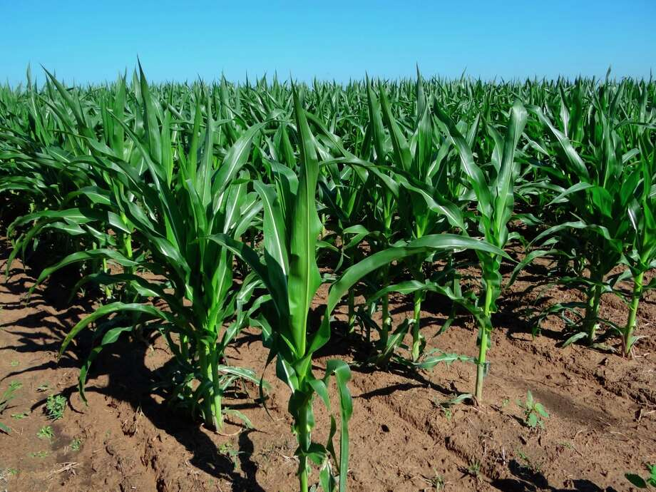 Falling gasoline consumption and increased foreign output of corn have pulled corn's price below the previously forecast $7.20 a bushel, U.S. Department of Agriculture economists say. Photo: Billy Calzada, Staff / San Antonio Express News