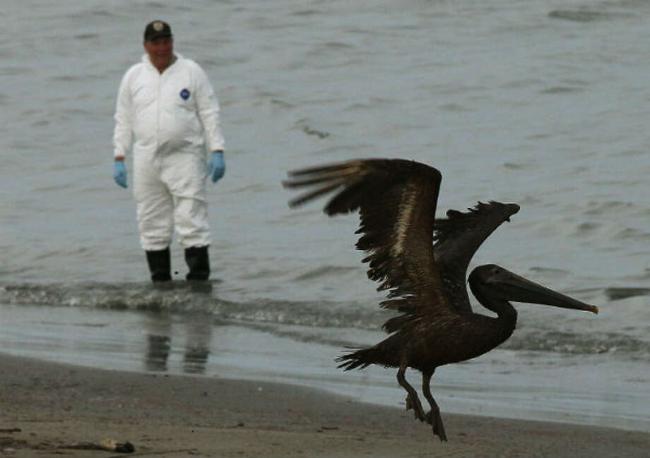 A brown pelican stained with oil takes flight while a bird rescue team tries to capture it for cleaning on June 5, 2010 in Grand Isle, Louisiana.