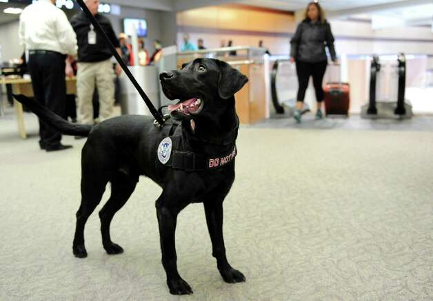 Seven, a Passenger Screening Canine, center, is ready to work on Tuesday, Feb. 26, 2013, at Albany International Airport in Colonie, N.Y. The Labrador retriever is trained to detect possible explosive substances for the Transportation Security Administration. (Cindy Schultz / Times Union) Photo: Cindy Schultz / 00021287A