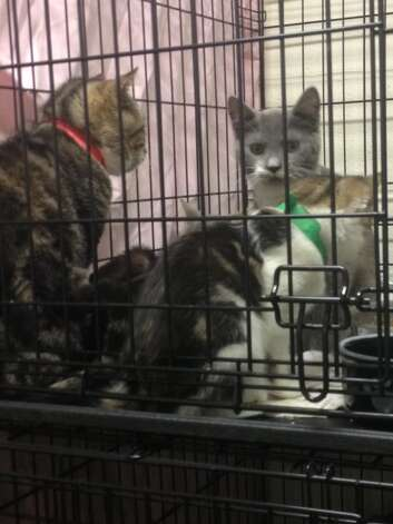 Cats rescued from a home in Wright (Schoharie County Sheriff's Office)