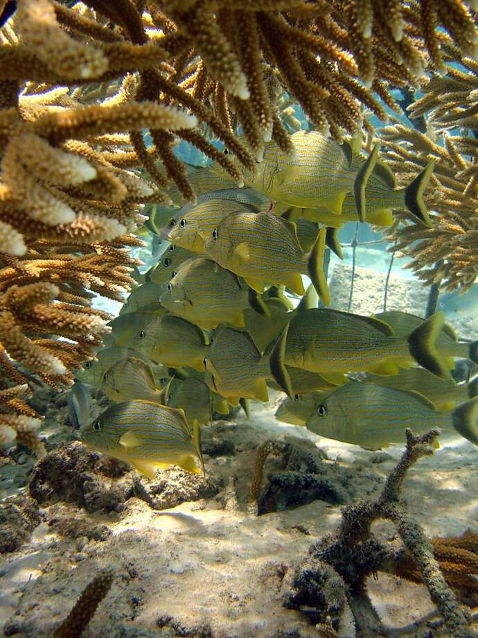 Healthy coral protects fish off the Dominican Republic. Coral coverage on Caribbean reefs has declined sharply. Photo: Victor Manuel Galvan, Associated Press