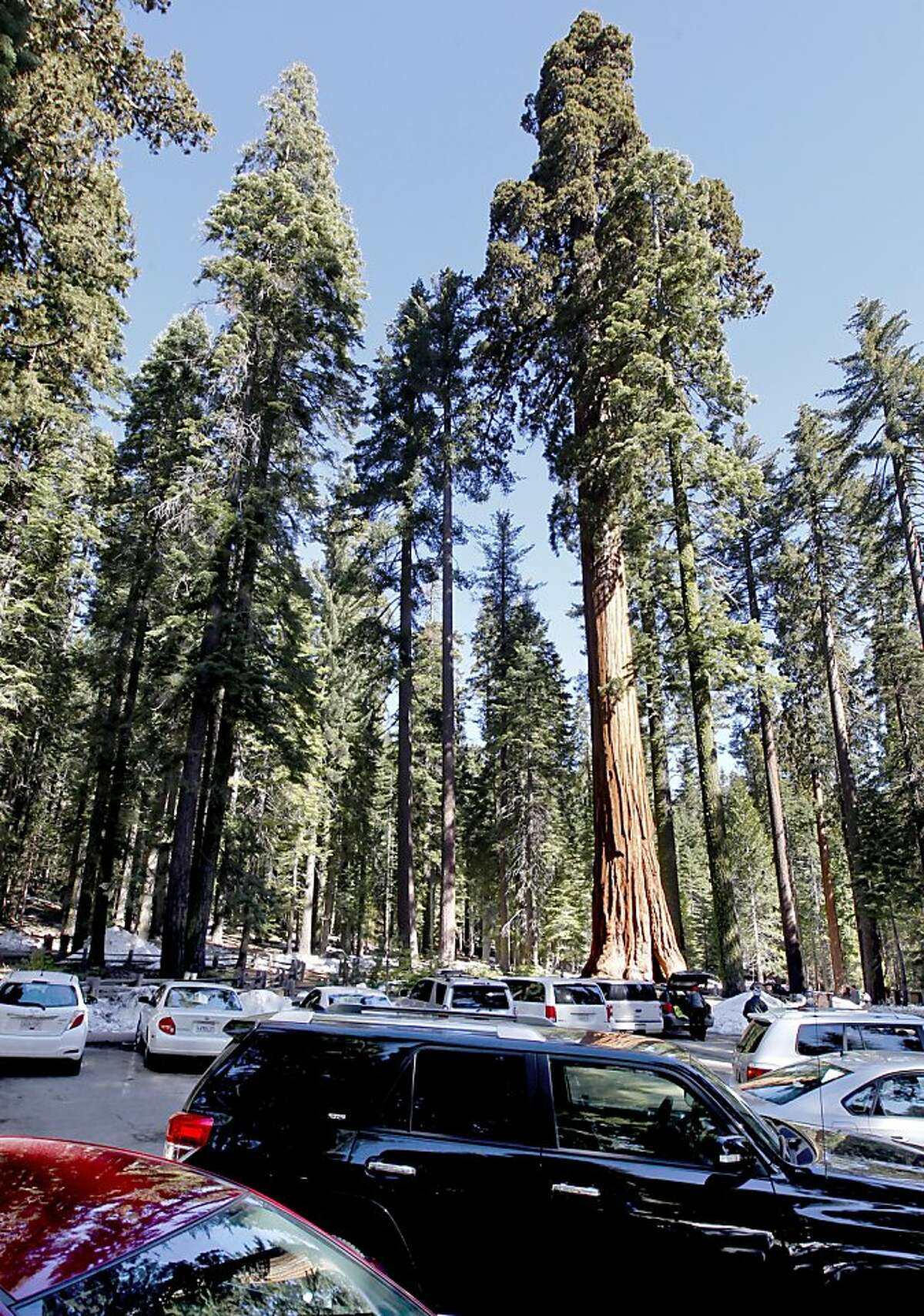 File - The Mariposa Grove of Giants Sequoias in Yosemite National Park as seen in 2013, prior to restoration.