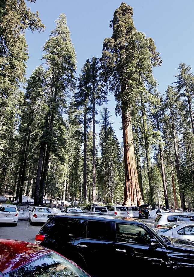Plans call for parking spots in the middle of Mariposa Grove to be removed and a lot built about 2 miles away, with shuttles and a trail for visitors. Photo: Michael Macor, The Chronicle