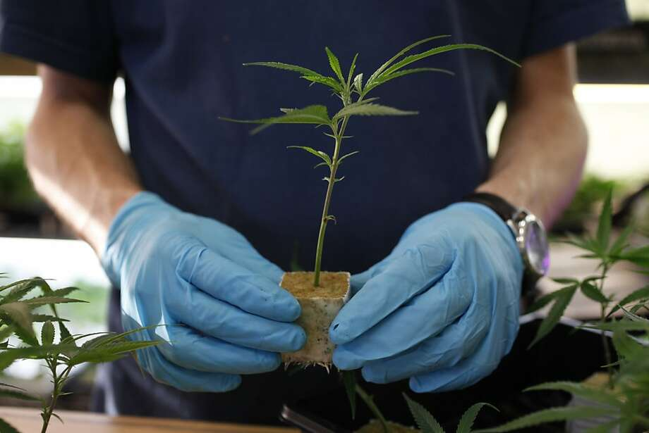 "In this file photo, a sales associate at an Oakland pot dispensary sells different varieties of California grown marijuana plants, ""clones,"" to patients at the dispensary in Oakland. Photo: Mike Kepka, The Chronicle"