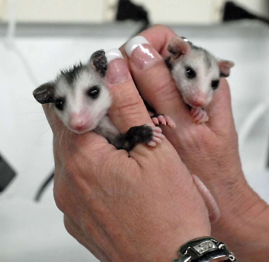 Debbie Mitchell prepares to feed a pair of opossums at the Wildlife Center of Texas based just off the Katy Freeway. Photo:  Tony Bullard 2013, Freelance Photographer / © Tony Bullard & the Houston Chronicle