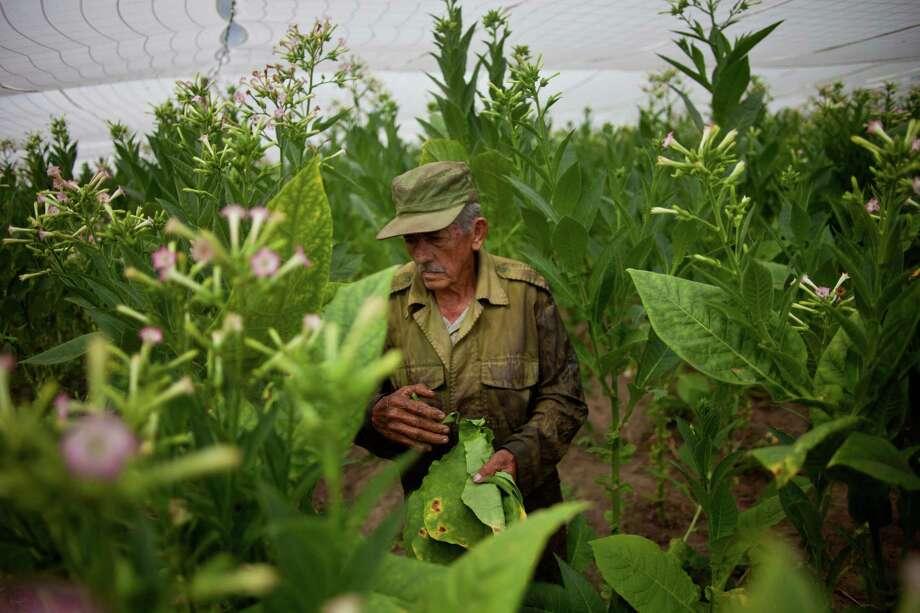 Farmer Jose Correa, 84, works at a tobacco field in the western province of Pinar del Rio, Cuba. Photo: Ramon Espinosa, Associated Press / AP