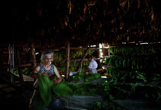 Women work on tobacco leaves at a warehouse in the western province of Pinar del Rio, Cuba. Photo: Ramon Espinosa, Associated Press / AP