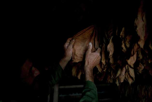 Farmer Pupy Becerra, 62, checks tobacco leaves in the western province of Pinar del Rio, Cuba. Photo: Ramon Espinosa, Associated Press / AP