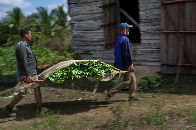 Farmers carry tobacco leaves in the western province of Pinar del Rio, Cuba. Photo: Ramon Espinosa, Associated Press / AP