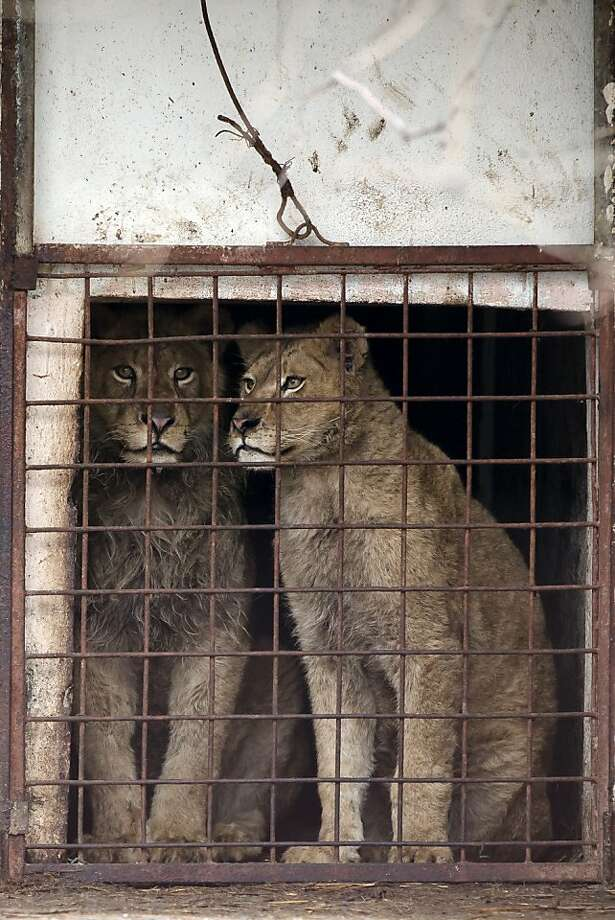"""A mobster's 'pets':Lions sit in their cage on the estate of Ion Balint, a notorious gangster known to Romanians as """"Nutzu the Pawnbroker,"""" in Bucharest. Balint, who has been arrested on attempted murder and other charges, allegedly used the animals to threaten his victims. The lions are now in the custody of the Vier Pfoten animal charity. Photo: Vadim Ghirda, Associated Press"""