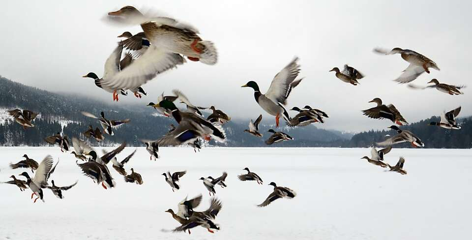 Fowl in flight: Ducks take off from frozen Titisee Lake in Titisee-Neustadt, Germany.