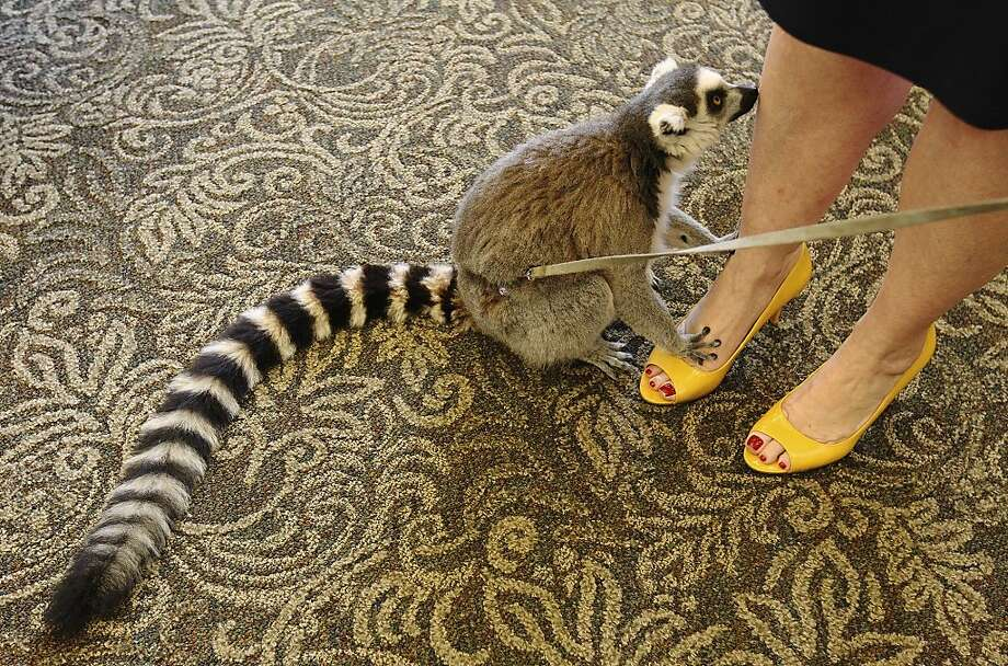 Love your shoes:Every month or so the animals of Happy Tails Entertainment visit Adante Senior Living in San Antonio. They never fail to cheer up the seniors, despite Baako's foot fetish. Photo: Kin Man Hui, San Antonio Express-News