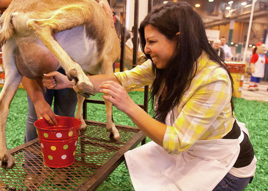 Theresa of 94.5 The Buzz milks her goat. Photo: Billy Smith II, Houston Chronicle / © 2013  Houston Chronicle