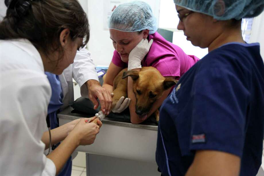 Jennifer Robinson practices holding a dog to control its head and leg while a catheter is inserted before a dental procedure at Ross University School of Veterinary Medicine near Basseterre, St. Kitts, Feb. 18, 2013. While an expected shortage in veterinarians turned into a glut, the demand for veterinary services declined, and the cost of vet school has far outpaced the rate of inflation. (Nicole Bengiveno/The New York Times) -- PHOTOS MOVED IN ADVANCE AND NOT FOR USE - ONLINE OR IN PRINT - BEFORE FEB. 24, 2013. Photo: NICOLE BENGIVENO, New York Times / NYTNS