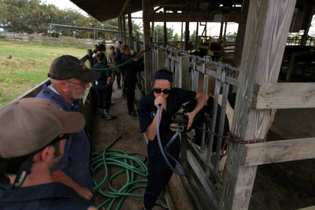Dr. Simon Kenyon teaches students how to use harnesses when working with cows, including the insertion of a tube for access to the gastrointestinal tract, at Ross University School of Veterinary Medicine near Basseterre, St. Kitts, Feb. 18, 2013. While an expected shortage in veterinarians turned into a glut, the demand for veterinary services declined, and the cost of vet school has far outpaced the rate of inflation. Photo: NICOLE BENGIVENO, New York Times / NYTNS