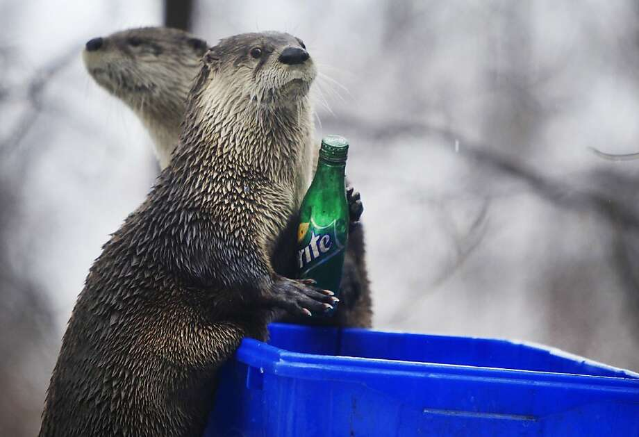 We don't always drink lemon-lime soda, but when we do, we prefer Sprite: They are ... the most interesting river otters in the world. (That's because they've been trained to collect plastic bottles and place them in recycling bins at Seneca Park Zoo in Rochester, N.Y.) Photo: Annette Lein, Associated Press