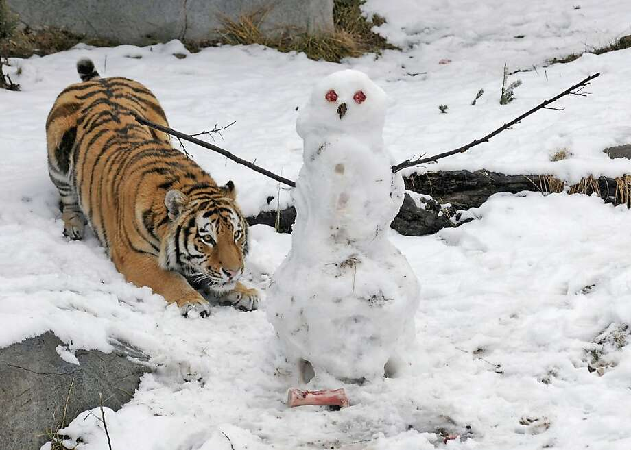In this photo provided by the Chicago Zoological Society, Max, a 2-year-old Amur tiger, gets ready to pounce on a snowman his keepers made for him Wednesday, Feb. 27, 2013, at the Brookfield Zoo in Brookfield, Ill. The snowman, which didn't stand a chance, featured meat for eyes and buttons, as well as bones for feet. The Chicago Zoological Society's Animal Programs staff provides enrichment to the animals that encourages natural behavior by physically and mentally stimulating them with a variety of items that they may not receive on a regular basis. (AP Photo/Chicago Zoological Society, Jim Schulz) Photo: Jim Schulz, Associated Press