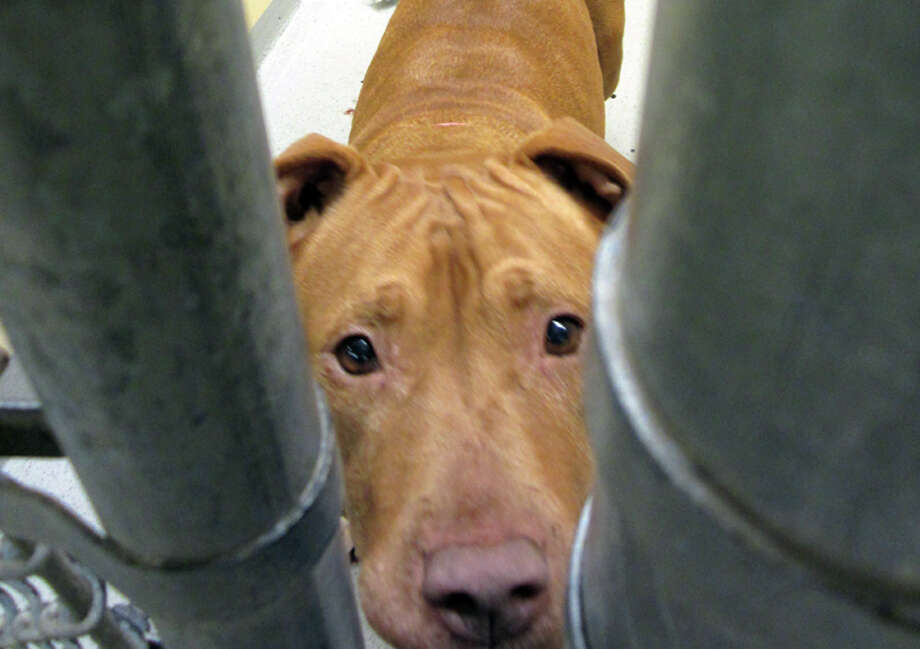 Butterscotch is an 8-year-old pitbull who likes snuggling and couch warming, staff said. Photo: Casey McNerthney/seattlepi.com