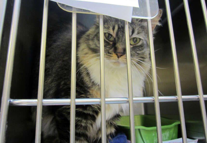 This 6-year-old cat named Sweet Pea was dropped off this month at the Seattle Animal Shelter.