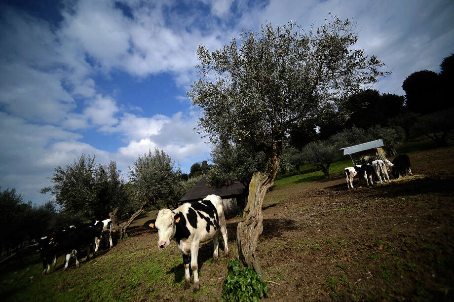 A view taken on February 20, 2013 shows cows in the gardens of the Apostolic Palace of Castel Gandolfo. Photo: FILIPPO MONTEFORTE, AFP/Getty Images / 2013 AFP