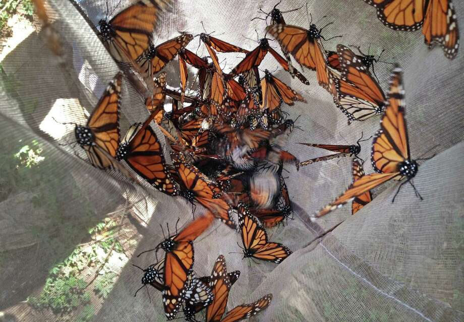 The tiger-striped butterflies arrive in Mexico in late October and early November to hibernate until February. Then they awaken and begin the search for a mate. Photo: Marjorie Miller / Associated Press