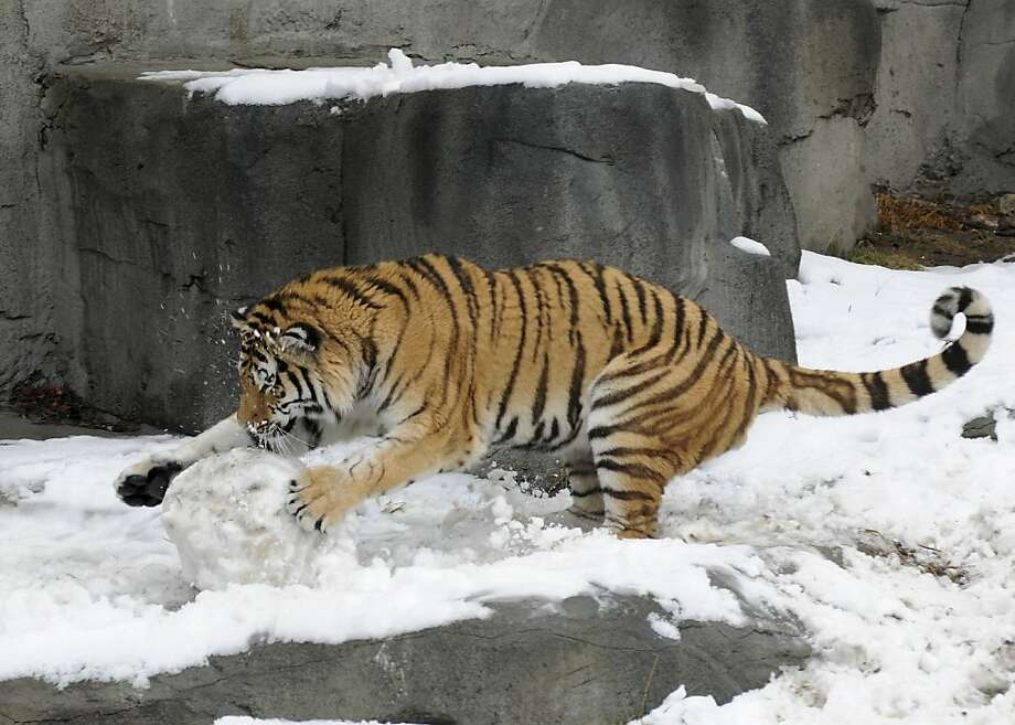 Max pounces!The snowman made for him by Brookfield Zoo keepers didn't stand a chance. The Amur tiger especially enjoyed the eyes and buttons, which were made of meat, and the feet, which were bones. Photo: Jim Schulz, Associated Press