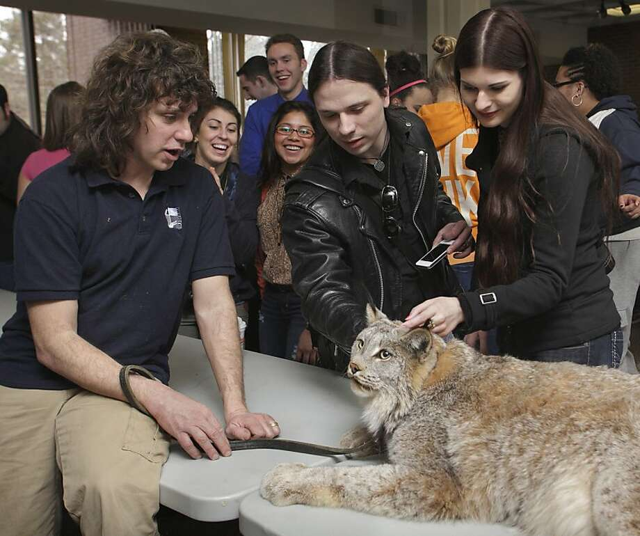 Warning, he's not crazy about belly rubs:Wildlife conservationist Ed Laquidara instructs students on the correct way to pet Samson, a Canadian lynx, at SUNY Orange in Middletown, N.Y. Photo: Tom Bushey, Associated Press