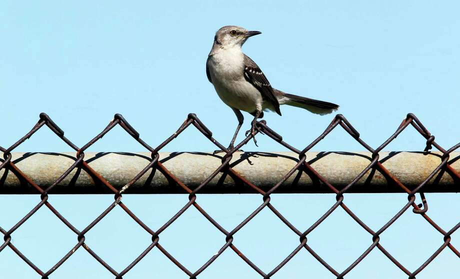 Bird: Mockingbird Photo: James Nielsen, Staff / © 2012 Houston Chronicle